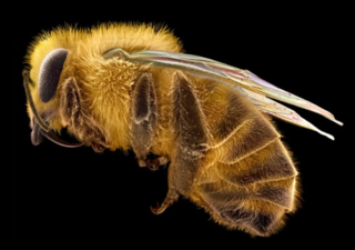 Electron-micrograph-of-a-honey-bee